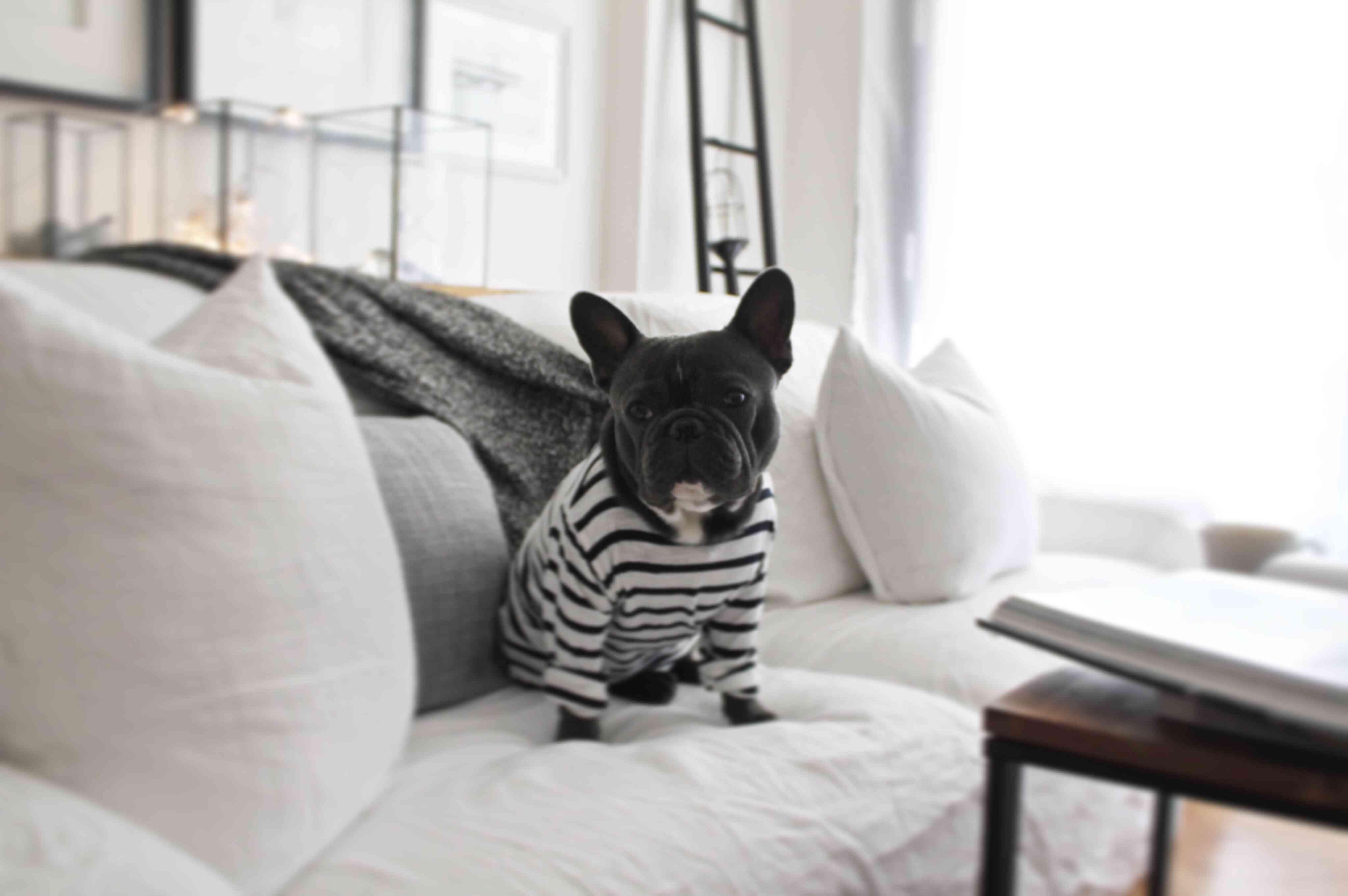 French Bulldog Sitting On Sofa At Home