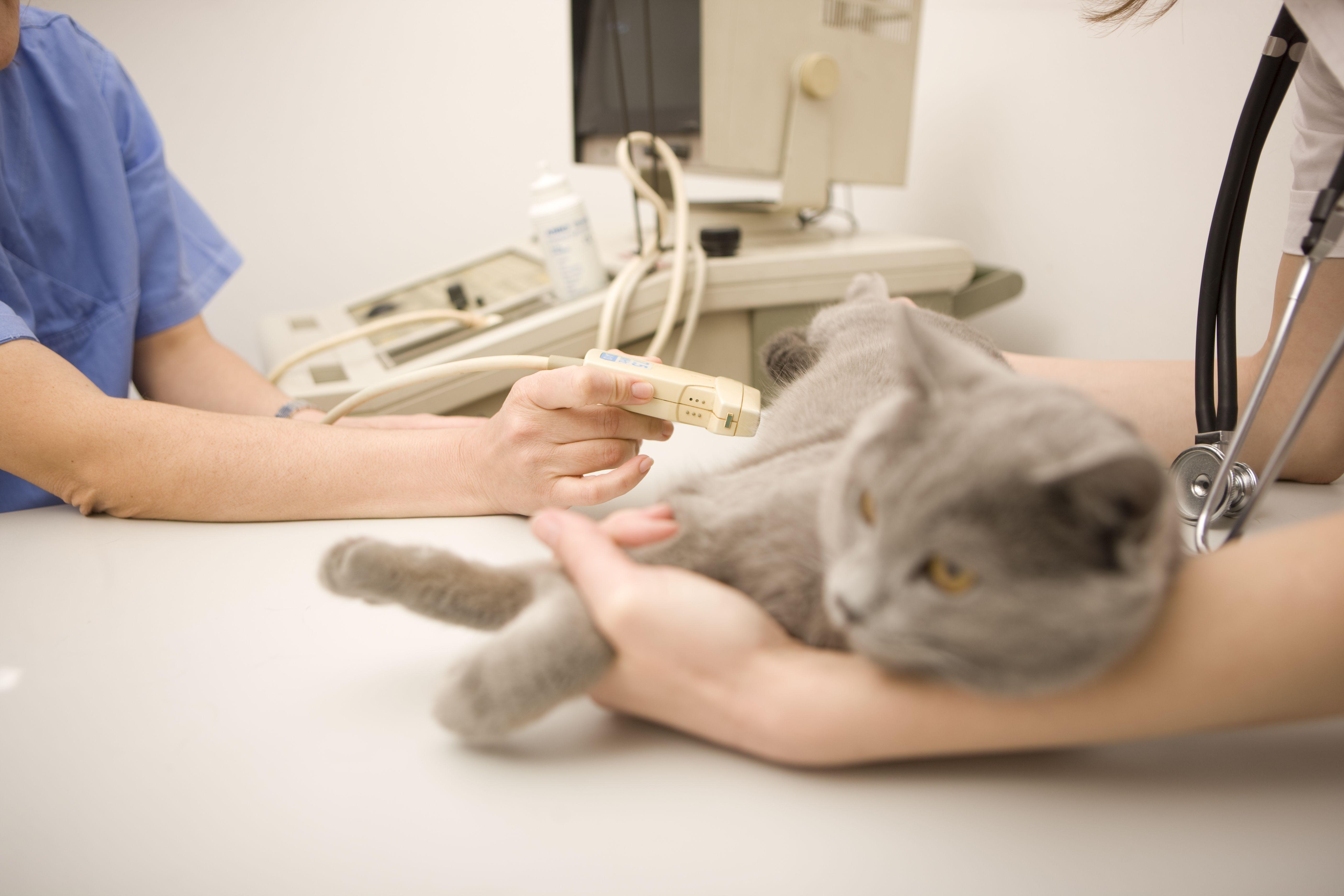 Vet using ultrasound