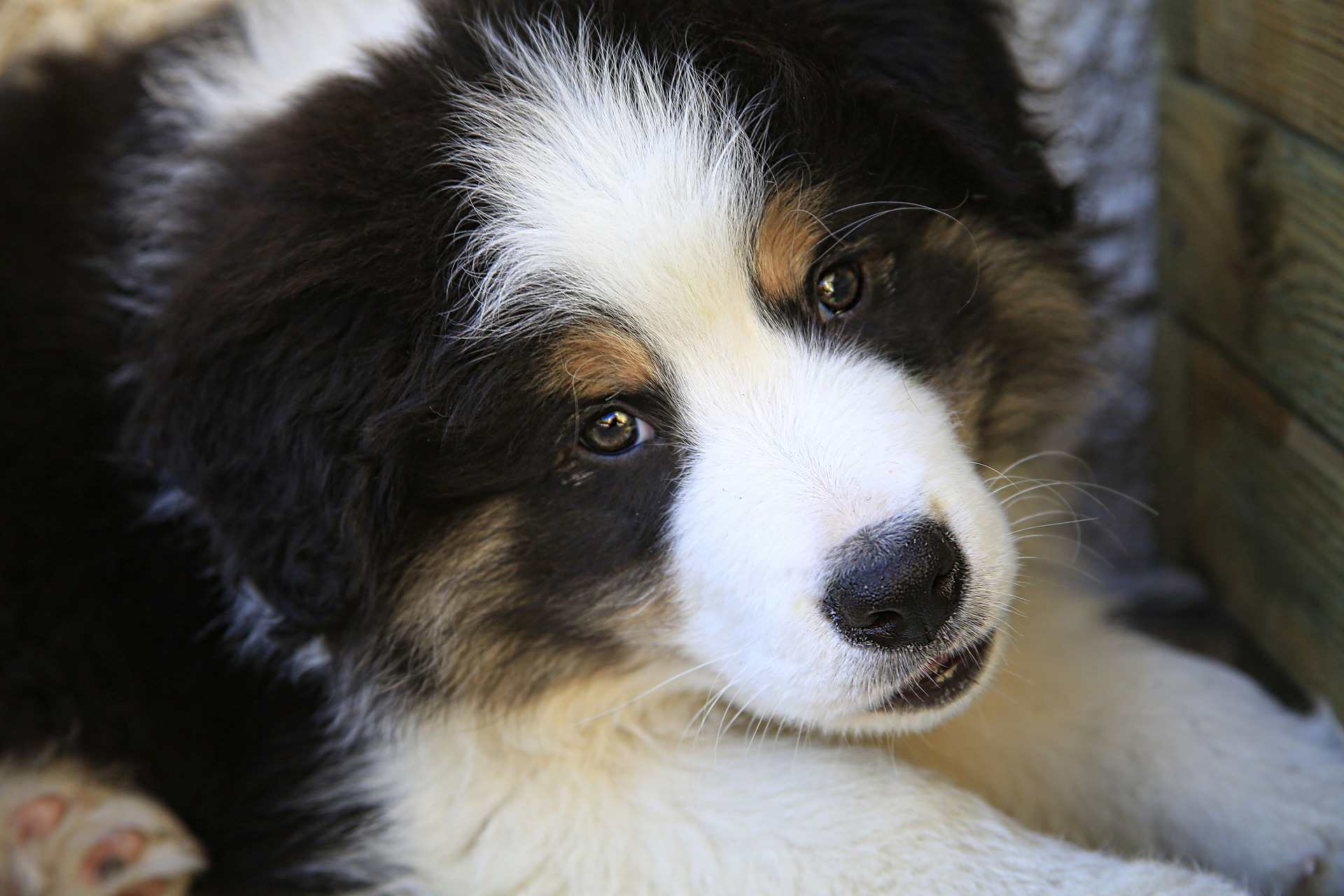 A close-up of a border collie puppy.