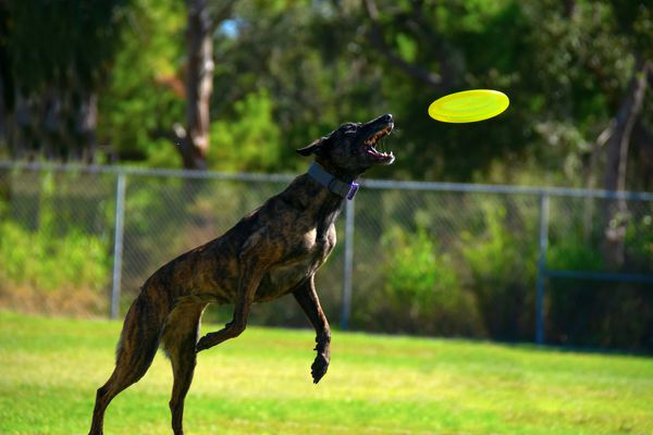 Treeing Tennessee Brindle Dog Catching a Frisbee