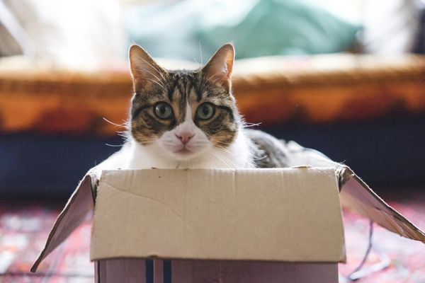 Cat peering out of box