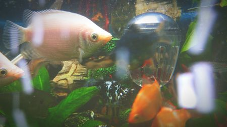 How To Treat Ammonia Poisoning In Aquarium Fish