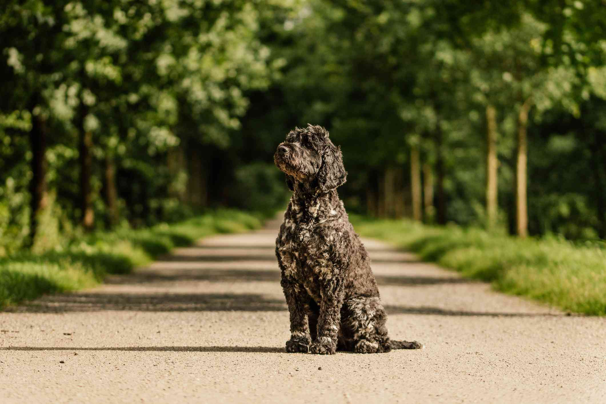 A medium-sized, black dog standing on a path.