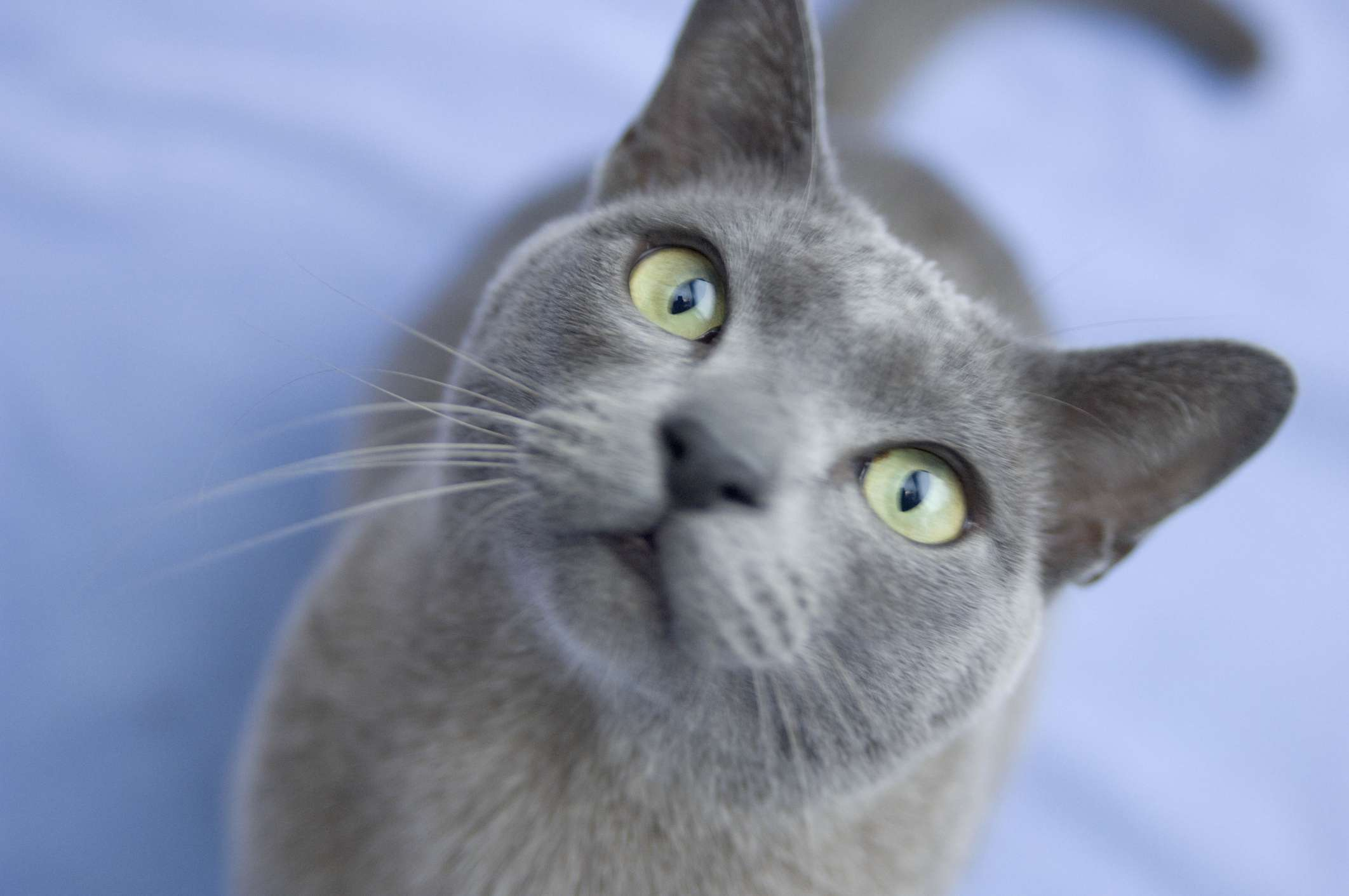 A Burmese cat looking into the camera.
