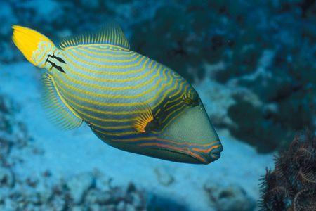 saltwater aquarium triggerfishes balistidae