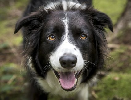 A close up of a happy border collie in the woods
