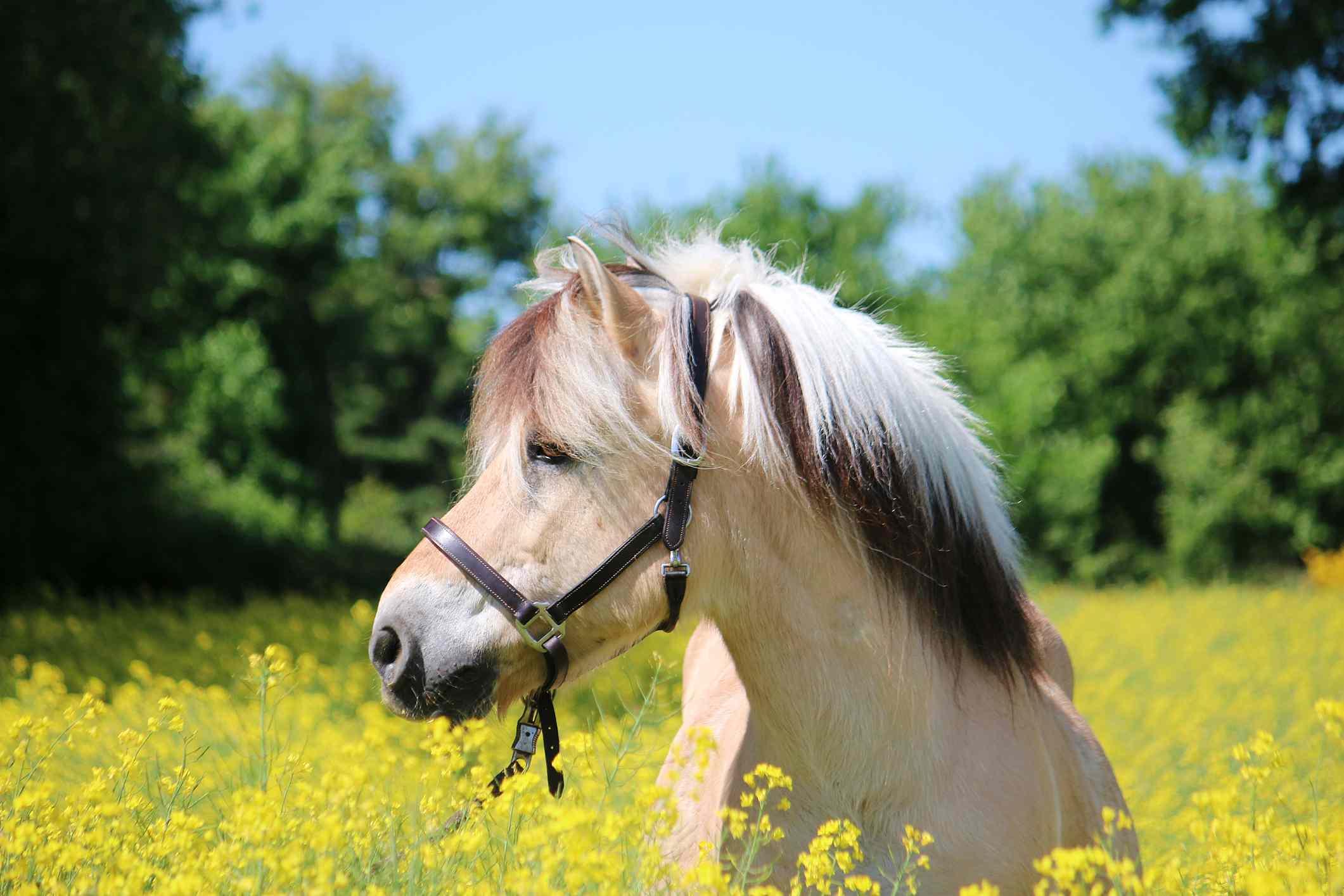Joven fiordo en un campo de flores amarillas
