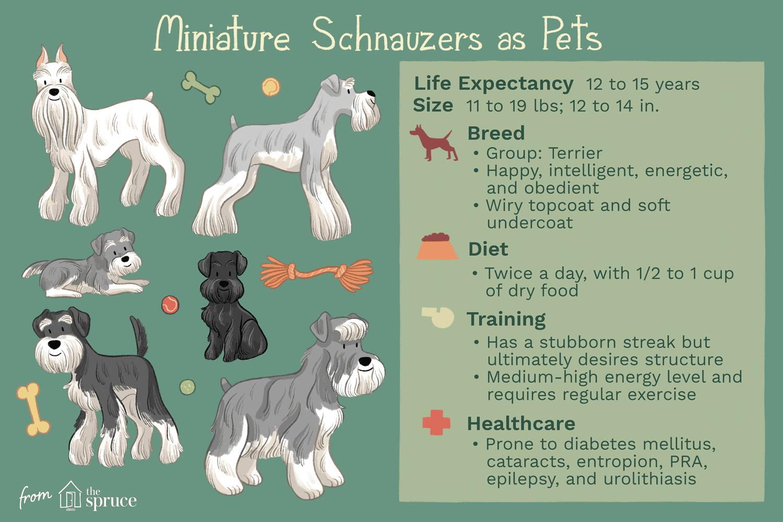 miniature schnauzers as pets illustration