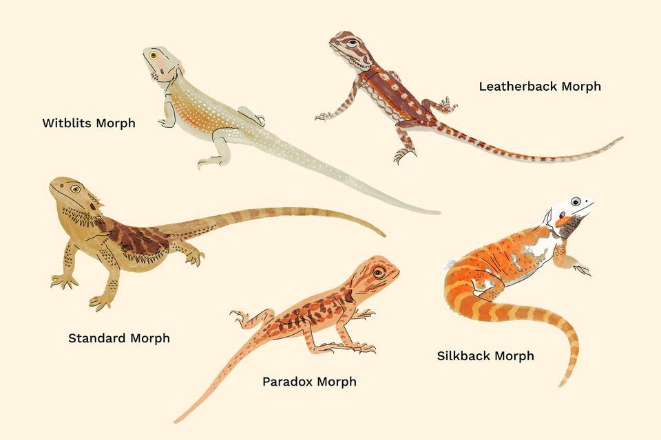 bearded dragons illustration