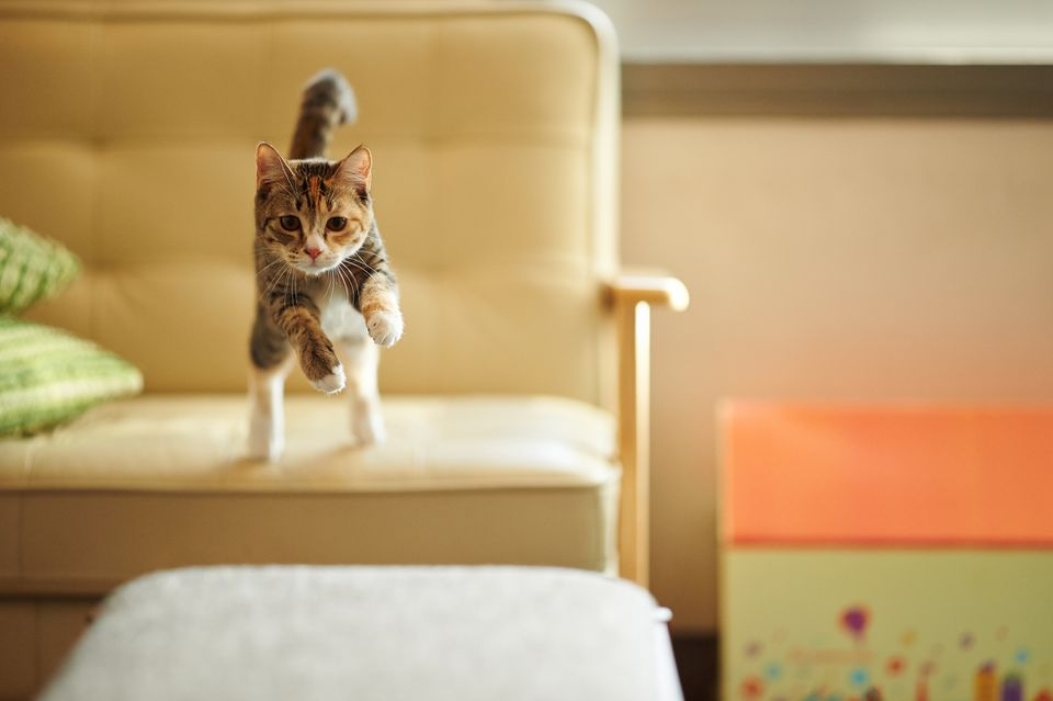 Calico cat jumping from a chair to an ottoman
