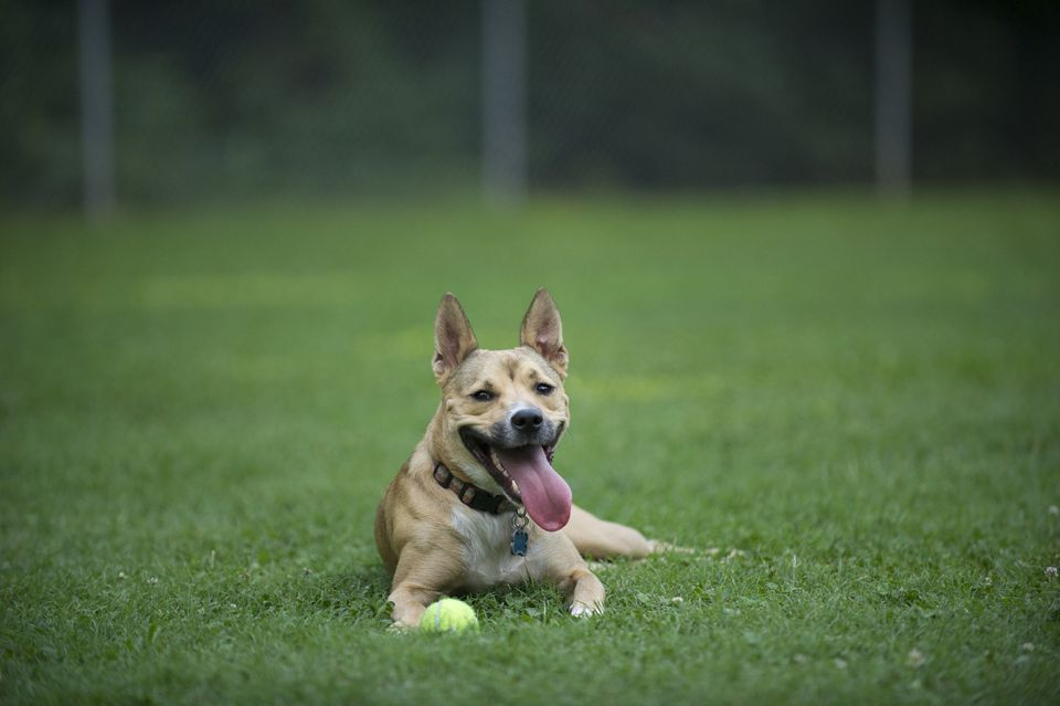 Carolina Dog in grass