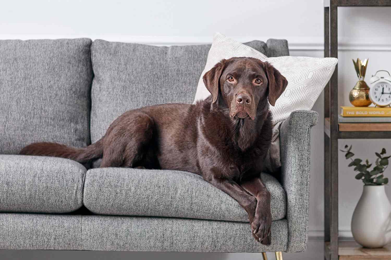 A Chocolate Labrador Retriever
