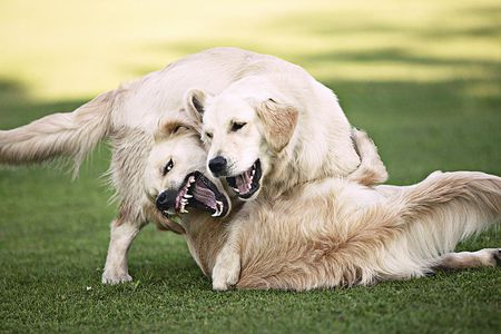 Is Your Dog Fighting or Playing?