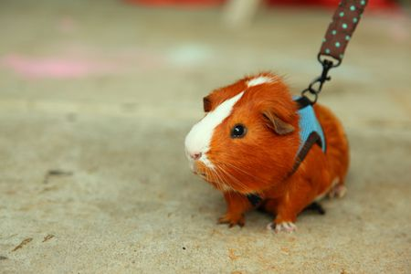 Broken Guinea Pig Legs - Leg Injuries in Guinea Pigs