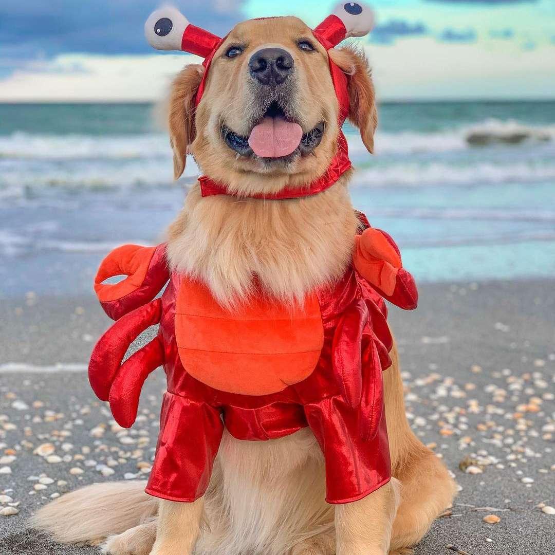 A golden retriever on the beach dressed as a crab.