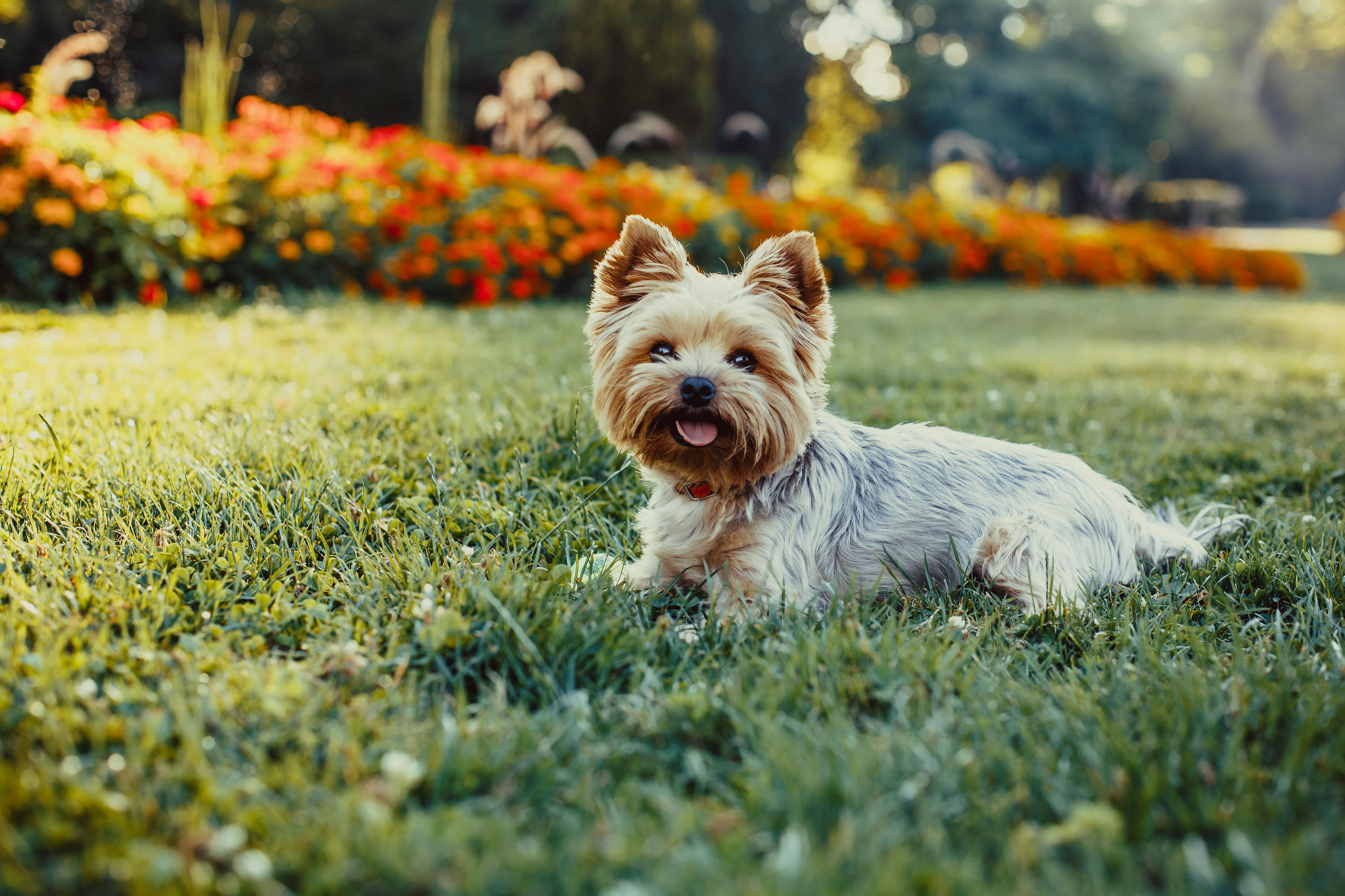 Yorkshire terrier lying in grass