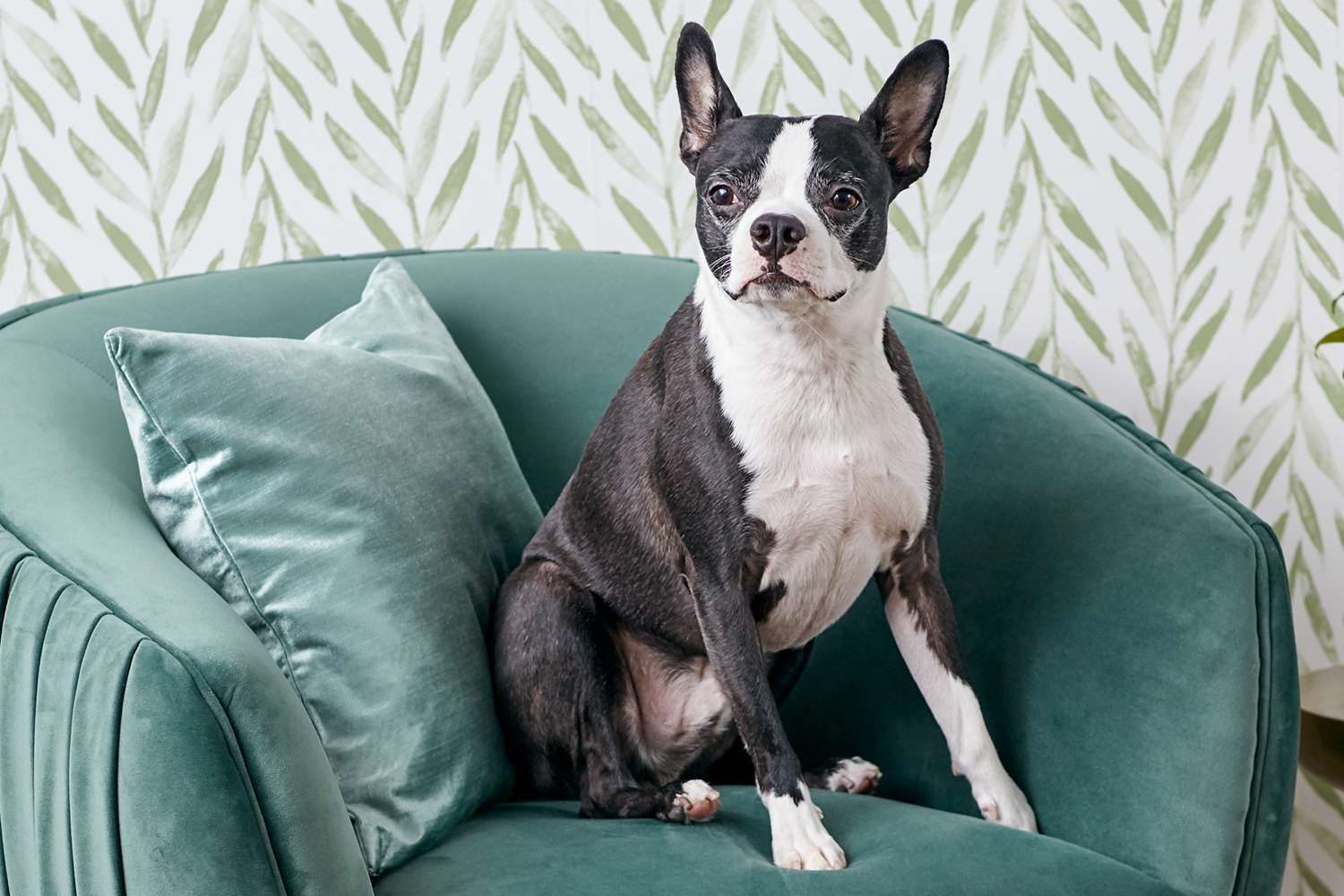 Boston terrier sitting on a chair