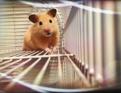 Golden hamster in cage