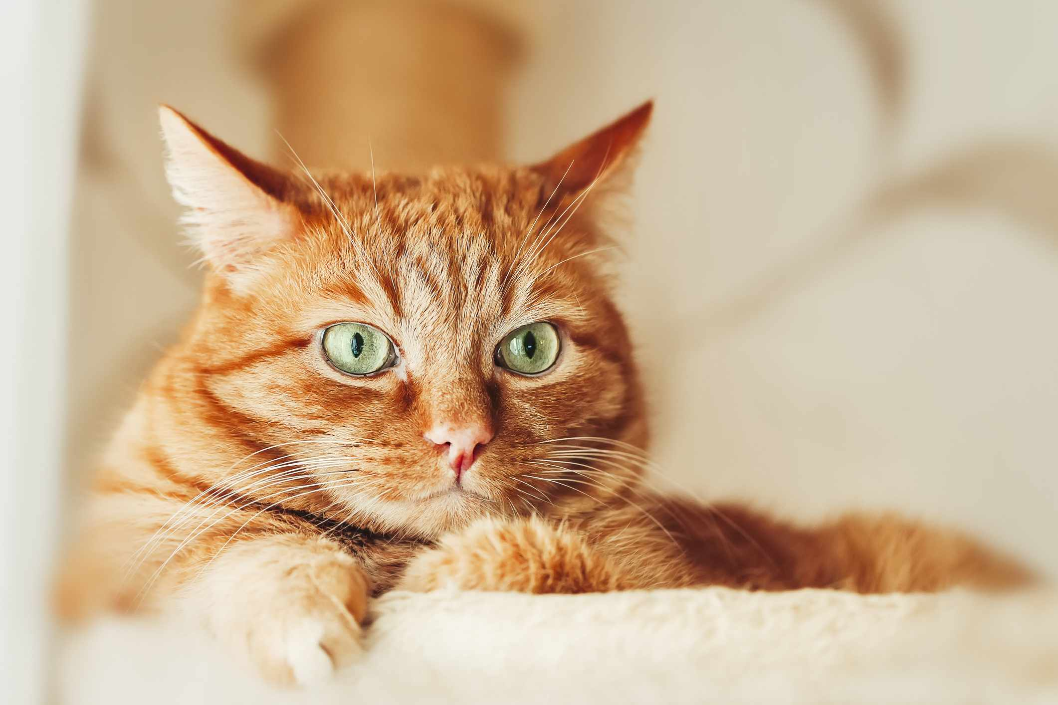 Portrait of orange cat with green eyes