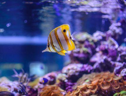 Saltwater Butterflyfish in an Aquarium