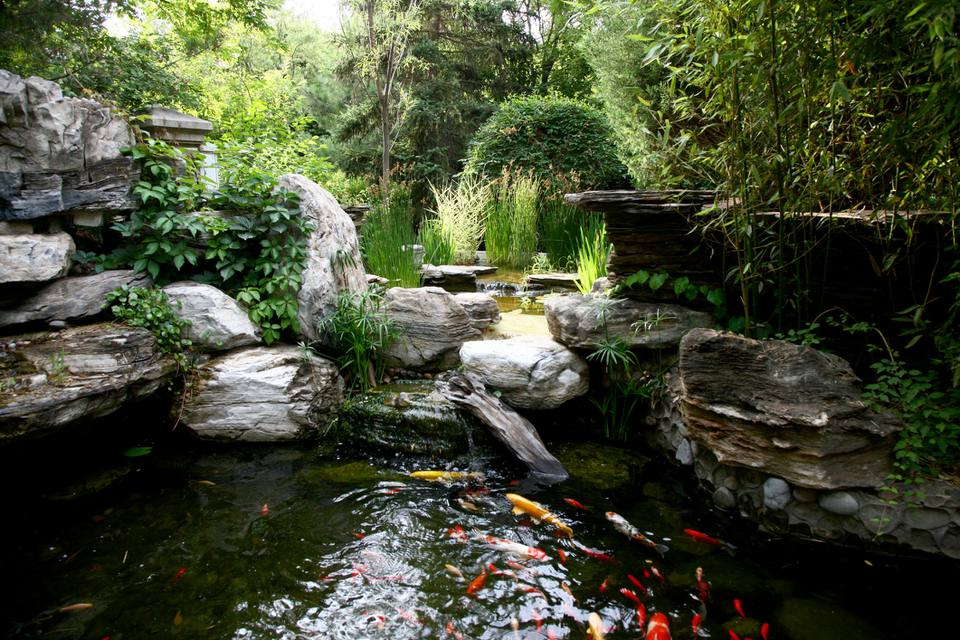 Garden pond with Koi fish
