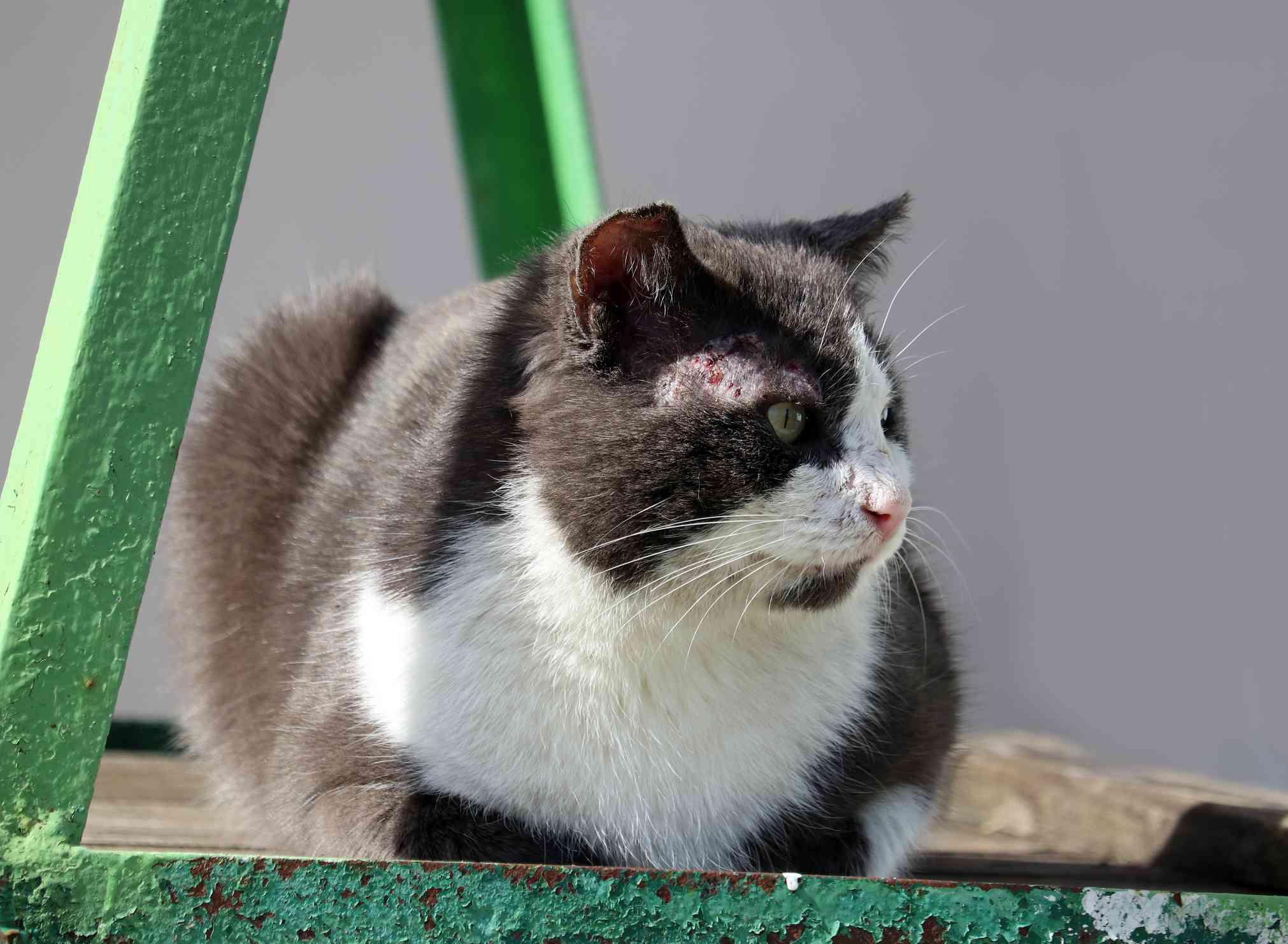 Gato blanco y negro con sarna en la cara.