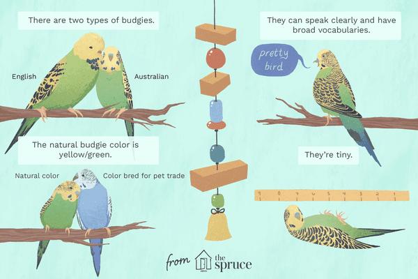 Budgie birds illustration