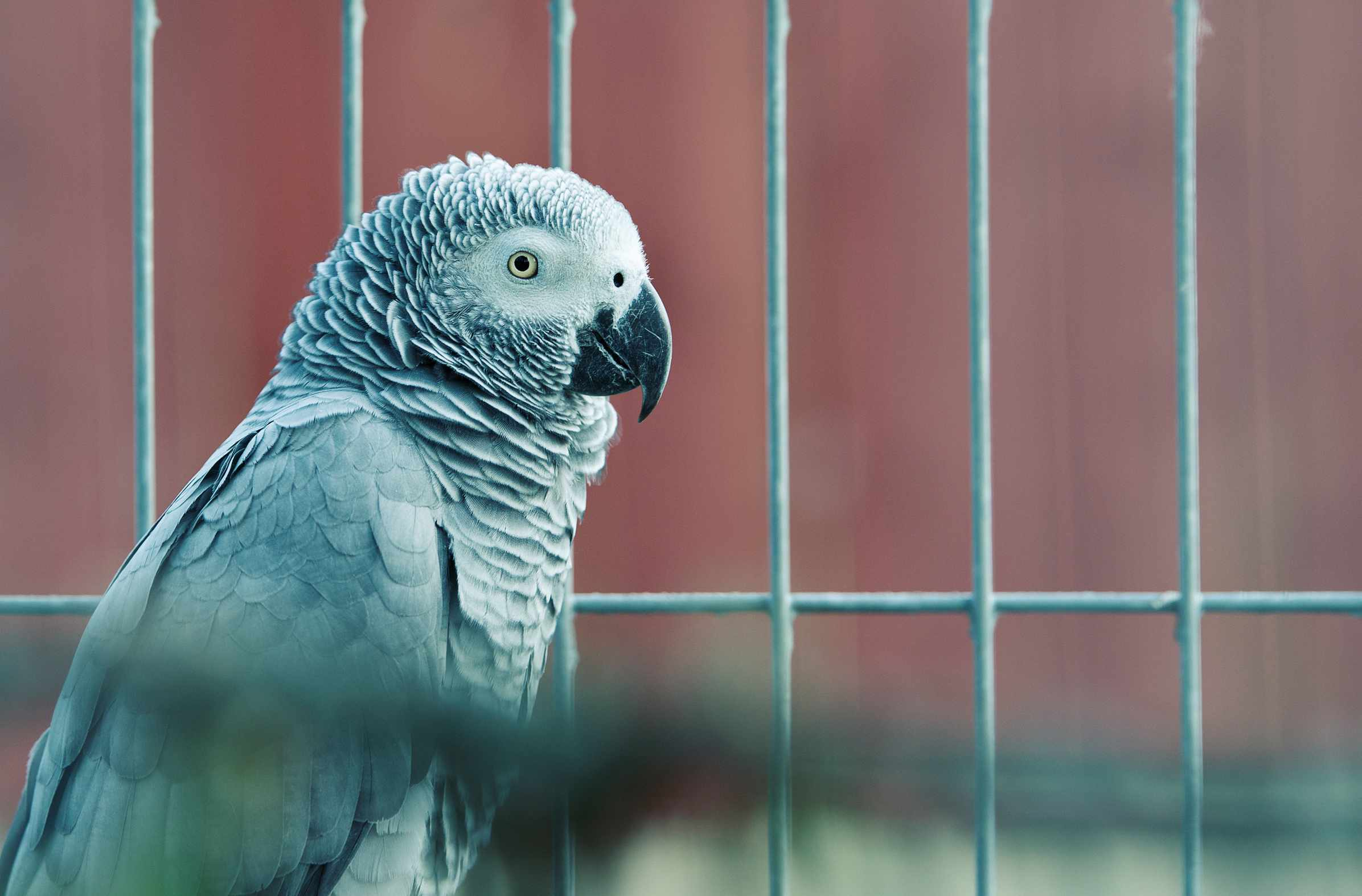 Close-up of African Grey Best trainable pet birds by thevetscare.com