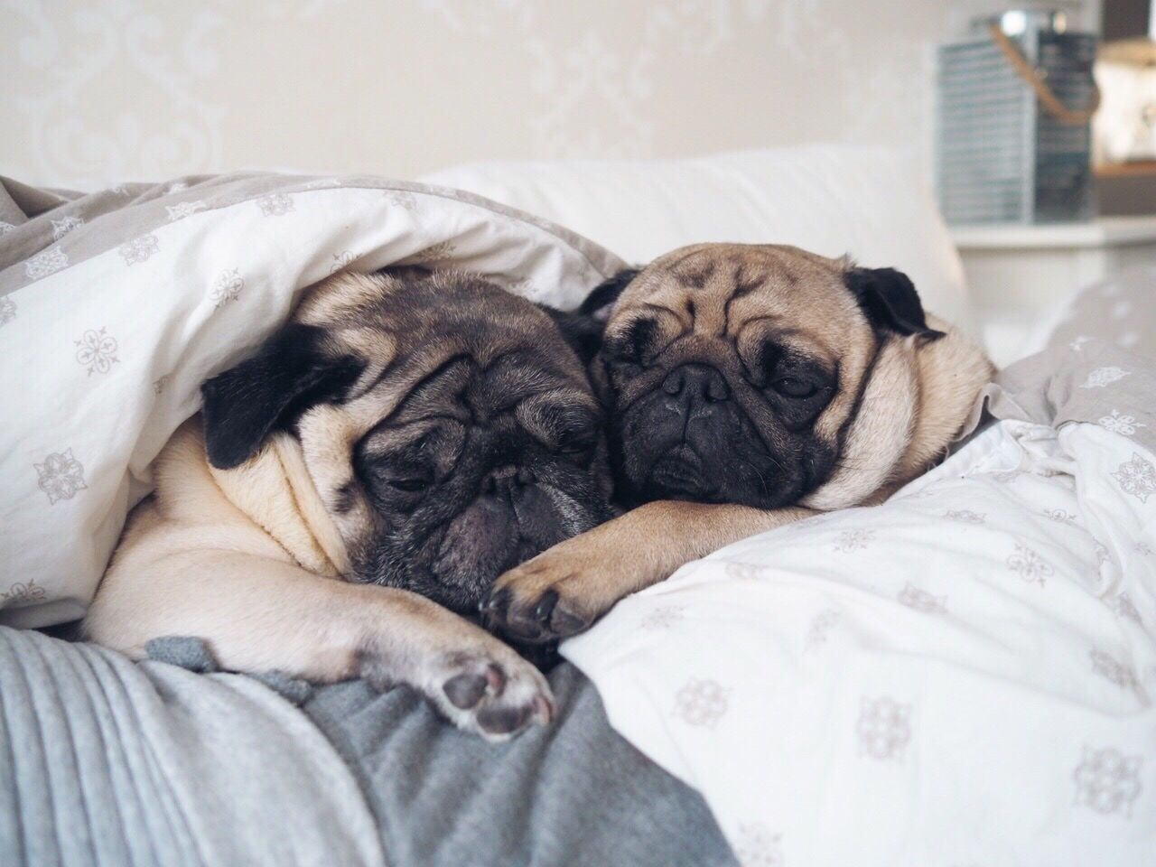 Two pugs sleeping together