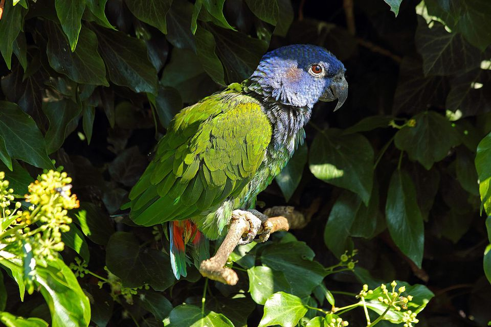 Blue headed parrot. Pionus menstruus. South and Ce