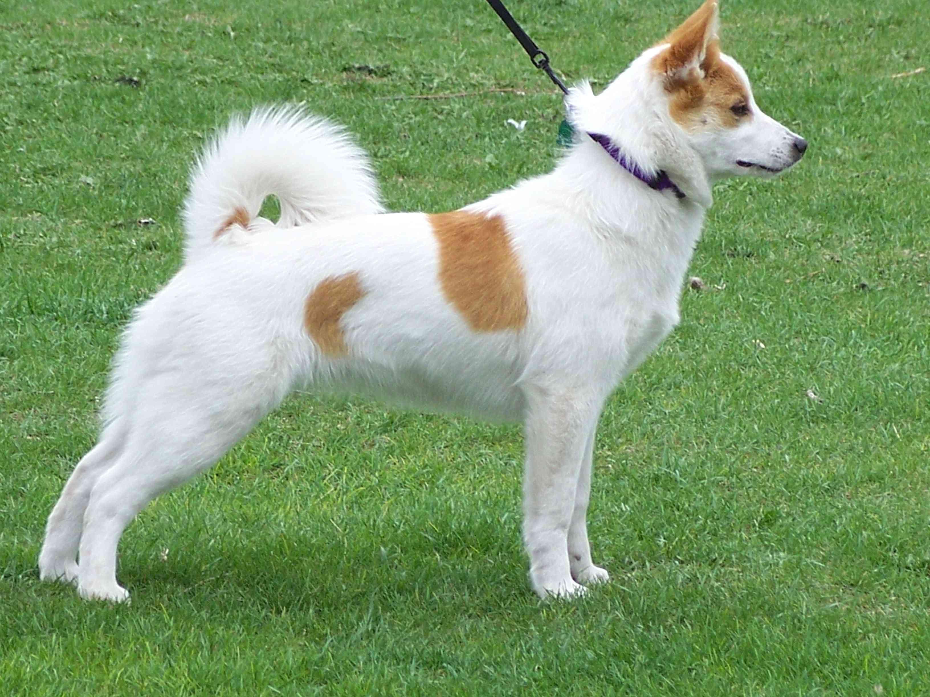 Norrbottenspets dog on leash