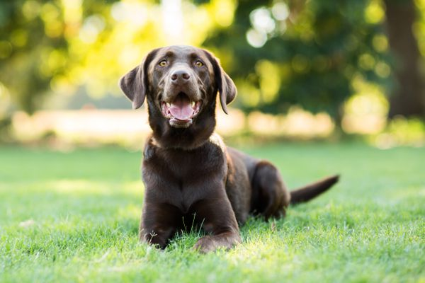 Chocolate Labrador Dog Laying on Grass Outdoors