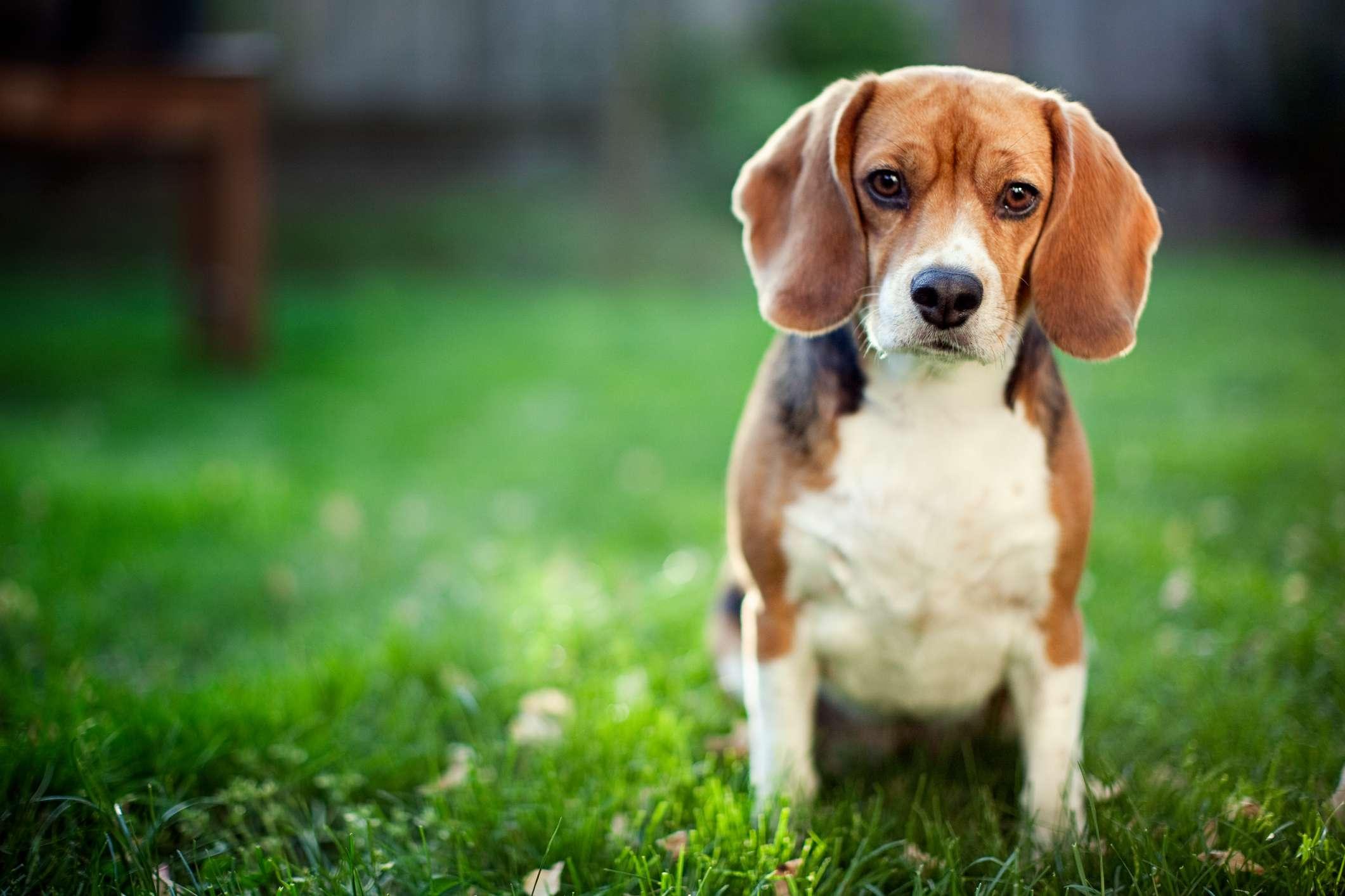 Beagle sitting the grass looking at camera.