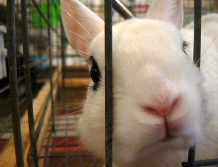 Rabbit poking nose through cage bars