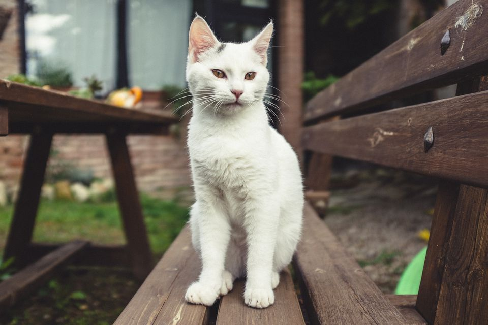 White cat without collar sitting on bench outside.