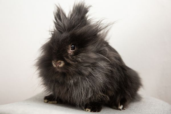 Black pet rabbit with long and fluffy hair