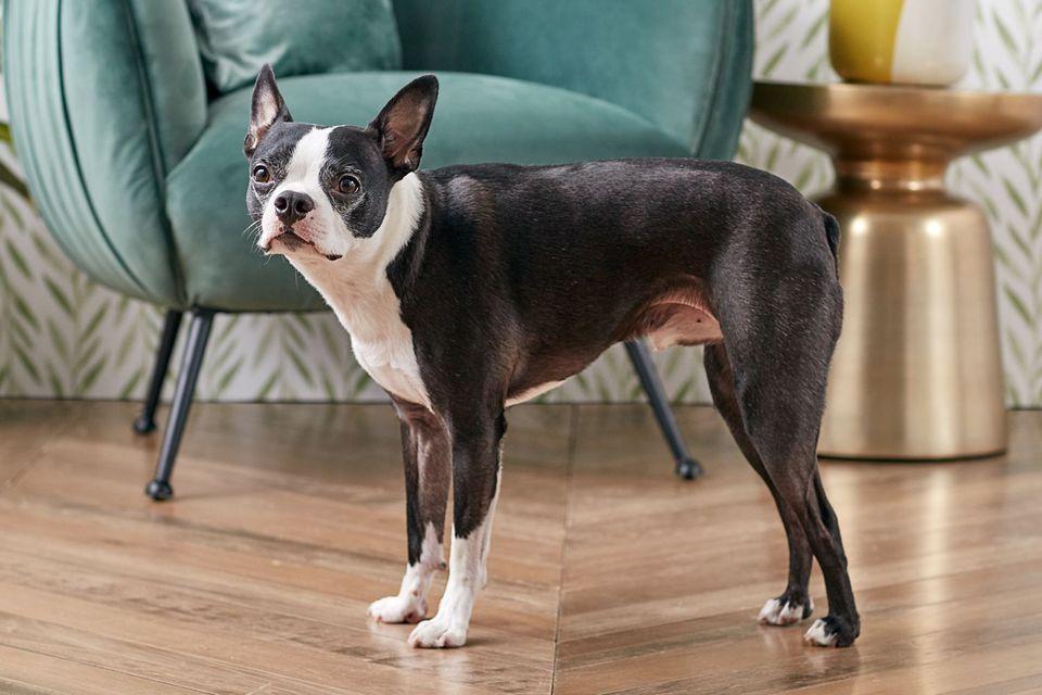 Boston Terrier dog standing indoors in profile