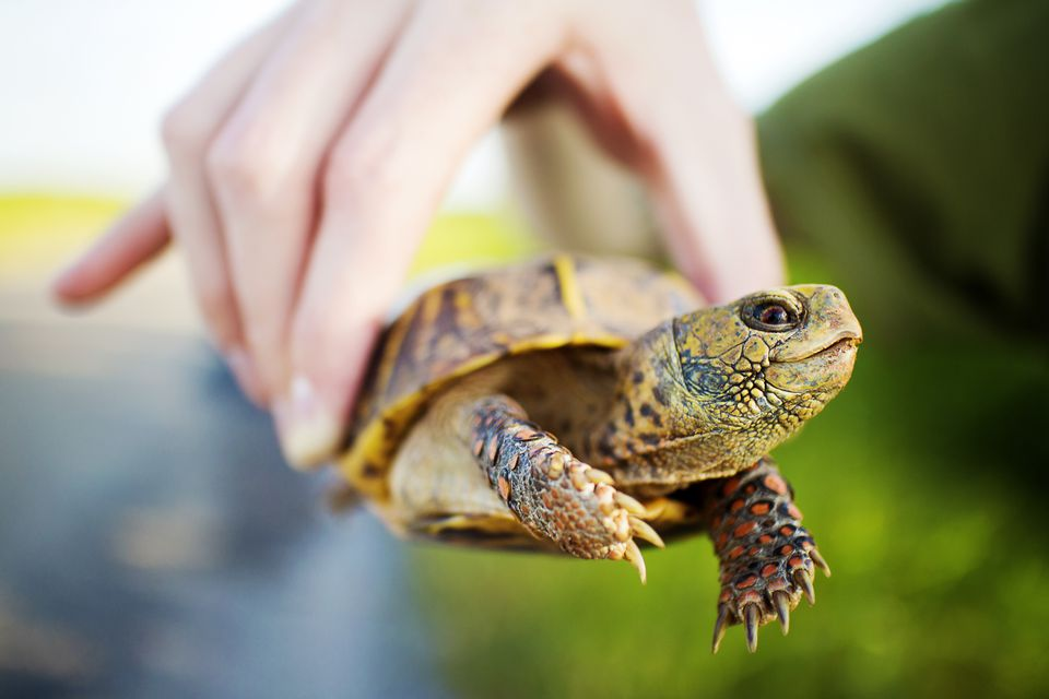 person holding a box turtle by the shell