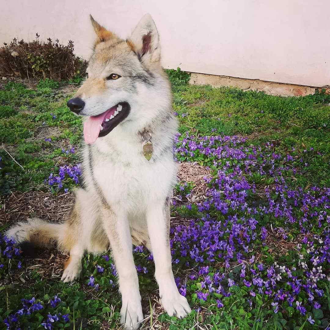 A wolf dog sitting outside among flowers