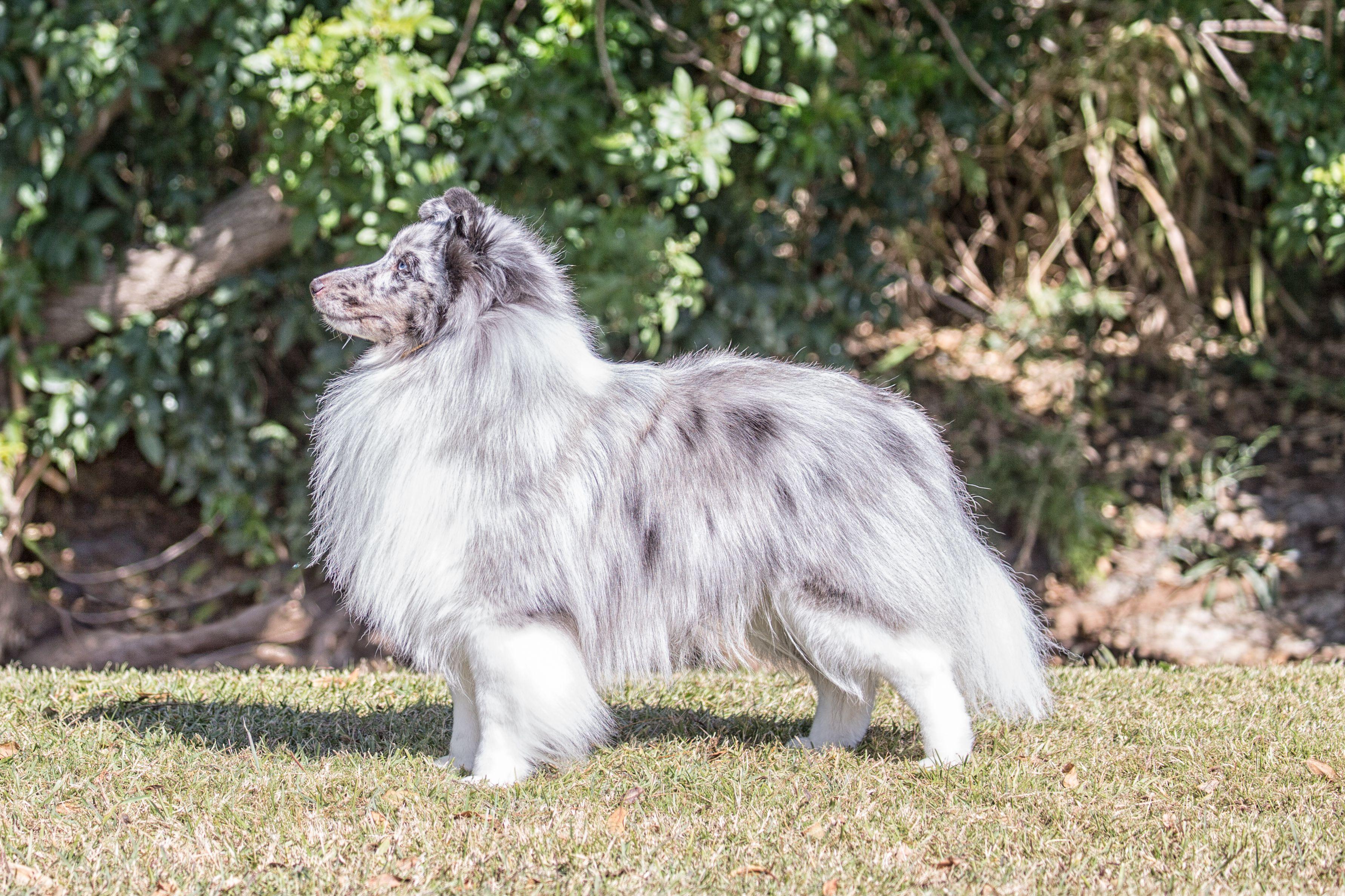 Shetland Sheepdog Sheltie Full