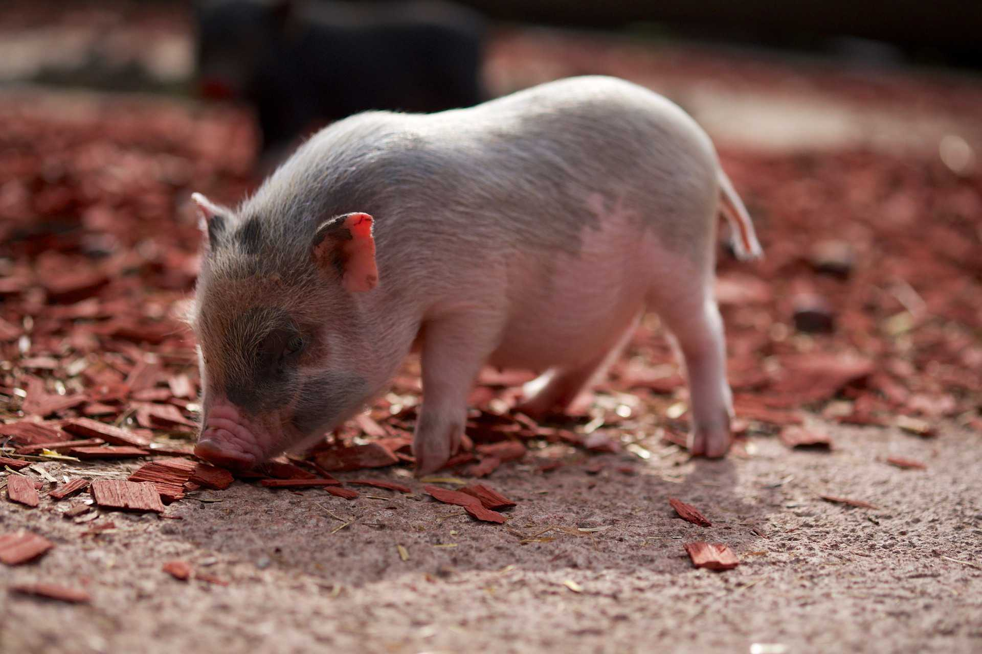 A side-view of a piglet.