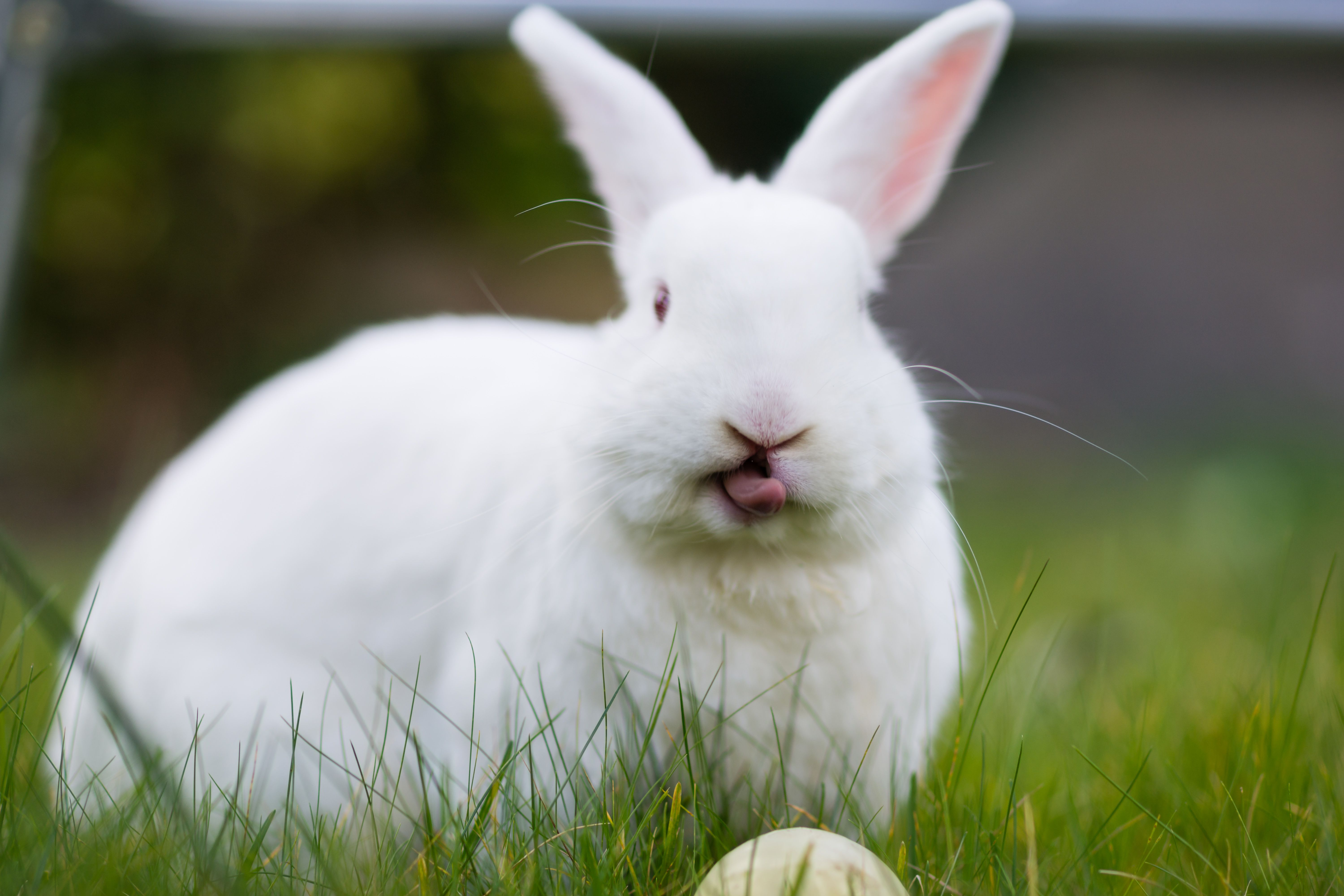 Rabbit sticking it's tongue out