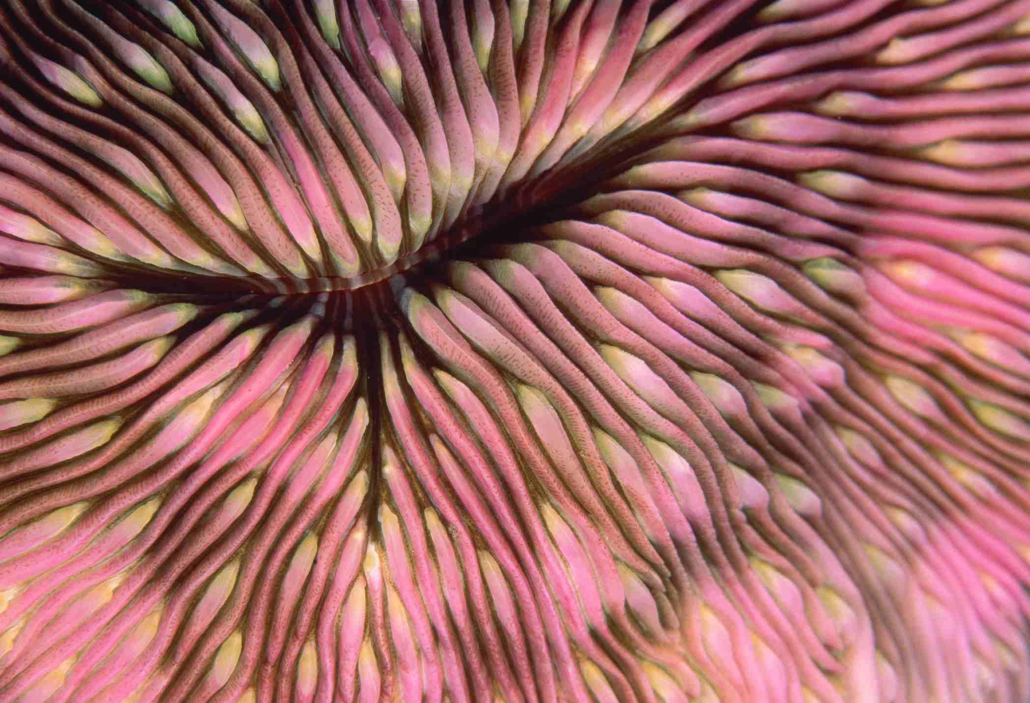 Pink Mushroom Coral