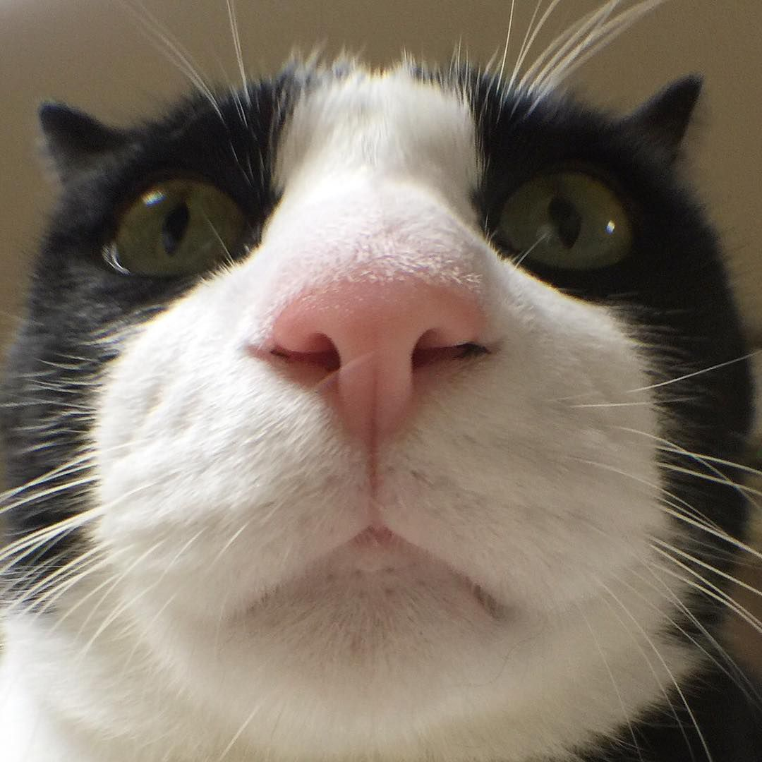 Tuxeo cat up against the camera