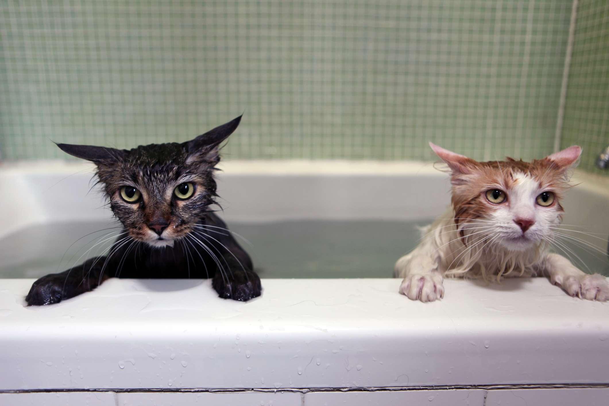 Un Maine Coon y un gato calico tomando un baño