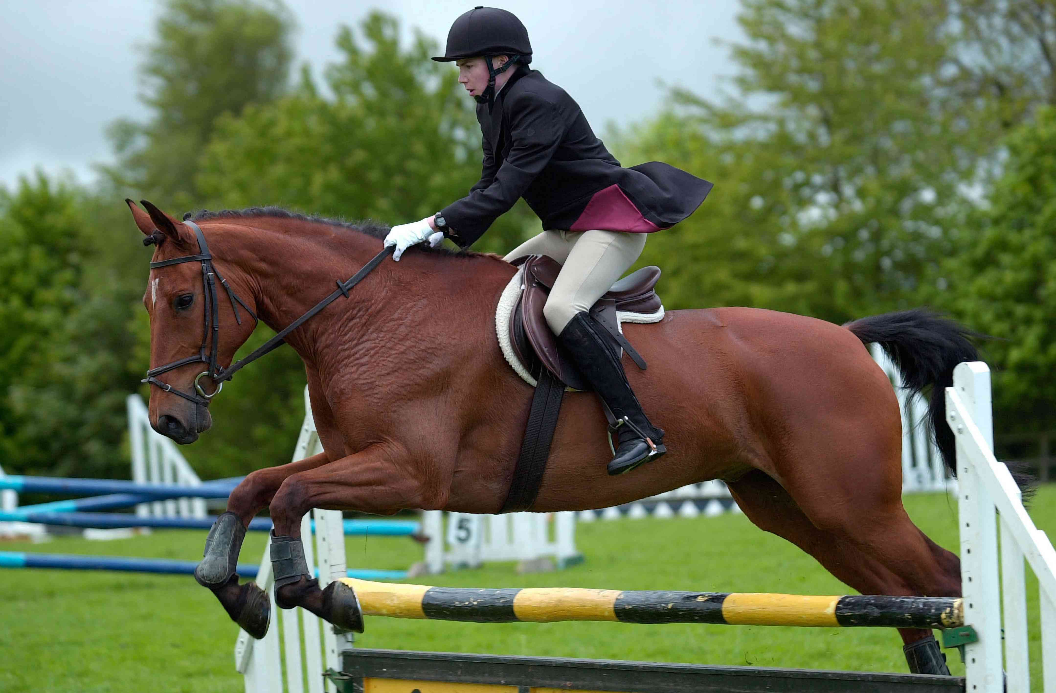 Cleveland Bay competing in a showjumping class in a horse show