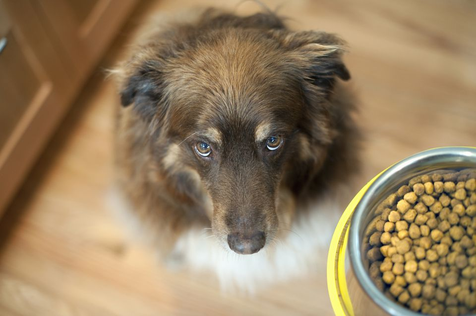 dog looking up at food bowl