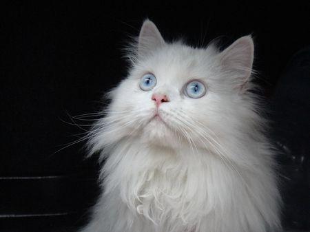 12 Stunning Persian Cats
