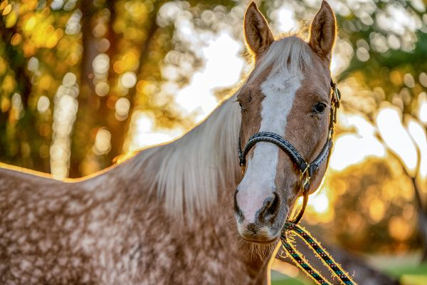 A Beautiful Gold And White Spotted Palomino Quarter Horse