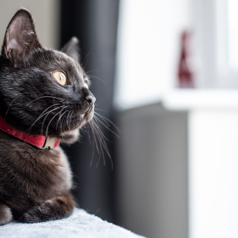 Close-Up Of Black Cat Looking Away At Home